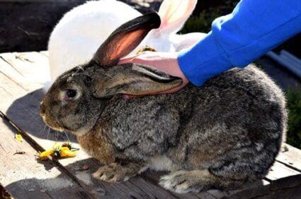 biggest rabbit breeds