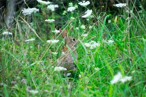 can rabbits eat garden weeds?