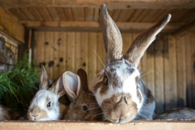 difference between a house rabbit and outdoor rabbit