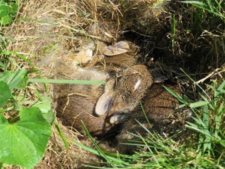 disturbed a wild rabbit nest