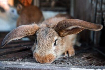do rabbits cry when sad?