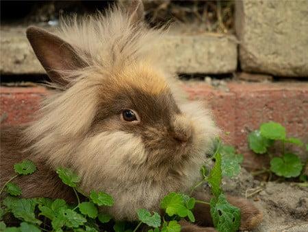 dwarf rabbit lifespan in captivity
