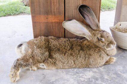 large pet rabbit breeds