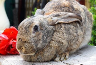 large rabbit care