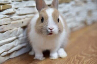 life expectancy of dwarf rabbits