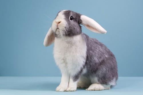 rabbit keeps shaking head and ears