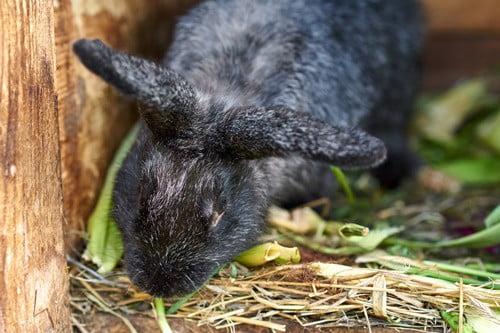 rabbit making purring sound