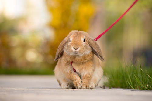 rabbit on a lead