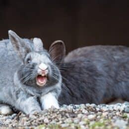 rabbit screaming in distress