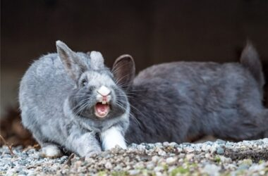 rabbit screaming in distress