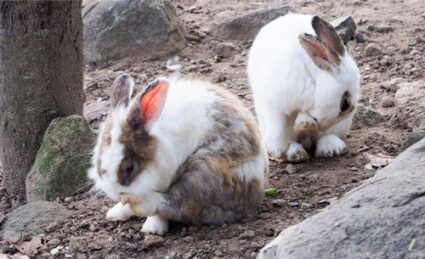 treating fleas on rabbits