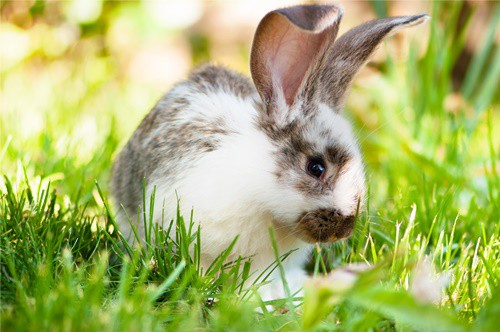 what does rabbit purring mean?
