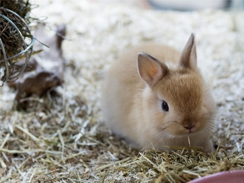 what is the average lifespan of dwarf rabbits?