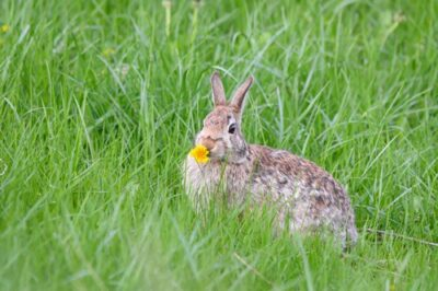 what weeds can rabbits eat?