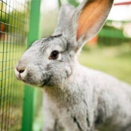 why is my rabbit honking?
