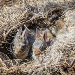 will a mother rabbit return to a disturbed nest?