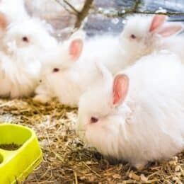 French Angora rabbit care