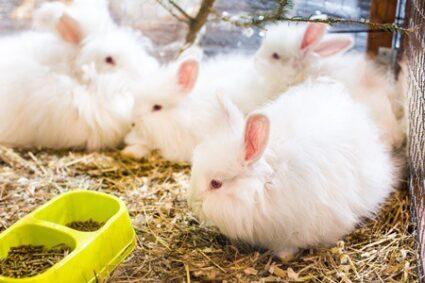 French Angora rabbit care
