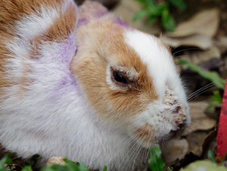 Hair Loss in Rabbits