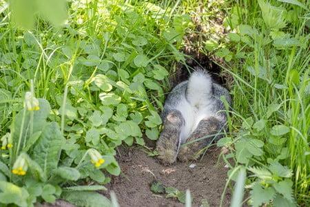 How do rabbits breathe underground?
