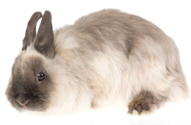 Jersey Wooly Rabbit care