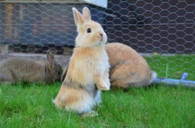 Pododermatitis in rabbits