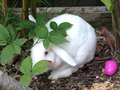 are blueberries healthy for rabbits?