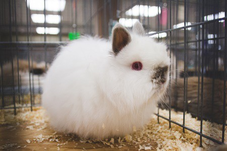 are jersey wooly rabbits good pets?