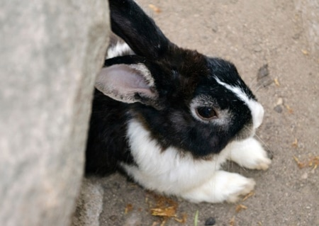 are sore hocks common in rabbits?