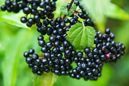 elderberries for rabbits