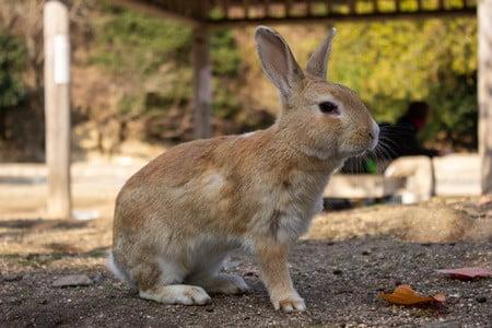 evolutionary history of rabbits