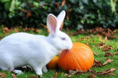 is it safe for rabbits to eat pumpkin?