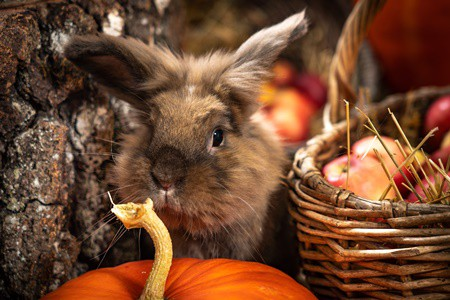 is raw pumpkin good for rabbits?