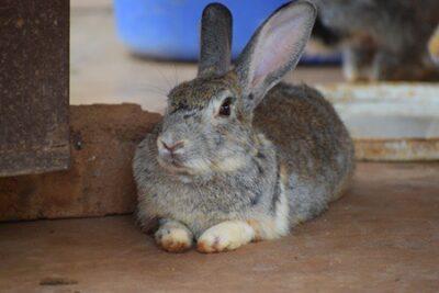 most rare rabbit breeds