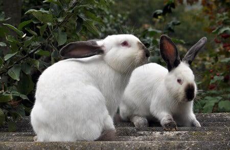 too much calcium in rabbit diet