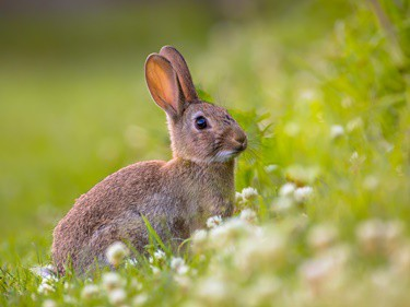 what did rabbits evolve from?