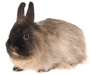 what to feed Jersey Wooly rabbits