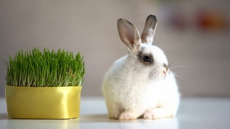 where does a rabbit store cellulose?