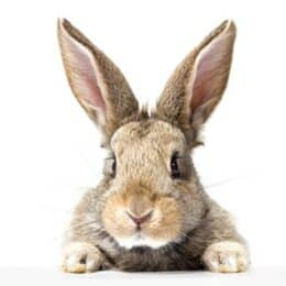 why do rabbits not have paw pads?