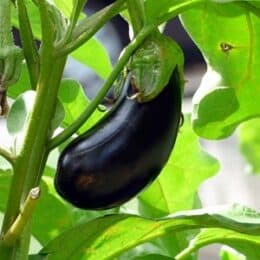 can I feed eggplant to a rabbit?