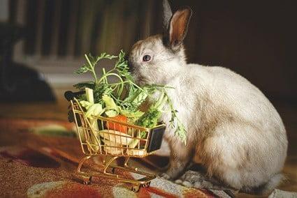 feeding rabbits eggplant
