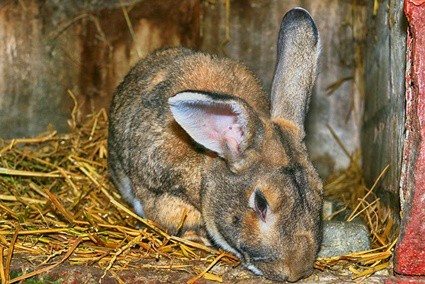 sources of carbohydrates for rabbits