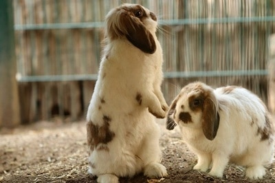 what does it mean when a rabbit stands on its back legs?
