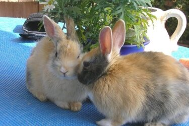 what does rabbit mounting mean?