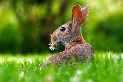 can rabbits see behind them?