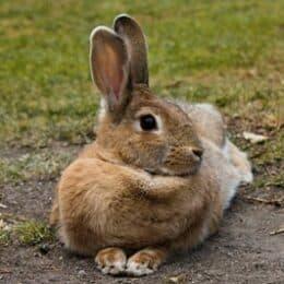 do rabbits hear well?