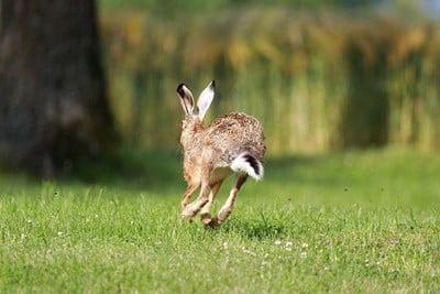 how do rabbits run so fast?
