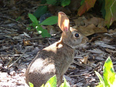 how good is a rabbit's hearing?