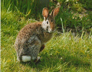 how long can a rabbit run at top speed?