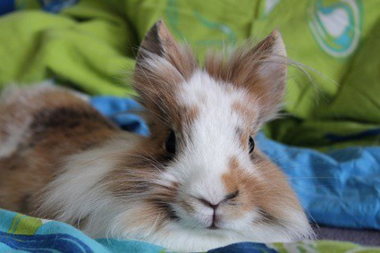 how much does it cost to microchip a rabbit?